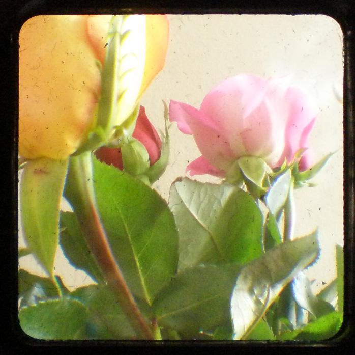 Rosesttv2